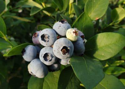 Owoce borówki amerykańskiej DUKE