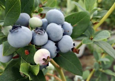 Owoce borówki amerykańskiej ELLIOT