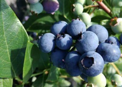 Owoce borówki amerykańskiej SPARTAN